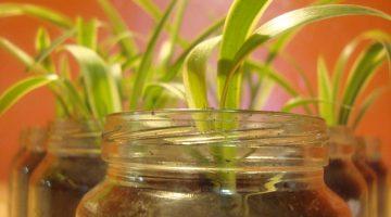 Zimmerpflanze Raumklima